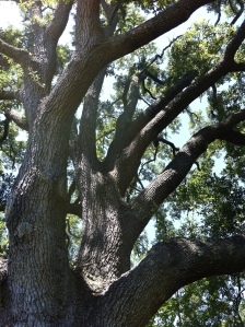 (Photo of a fine specimen of a live oak, in the front yard.)