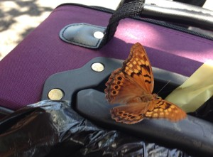 butterflyCWW