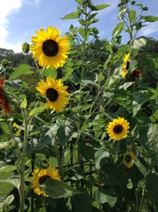 (Beautiful sunflowers from the sabbath garden space of dear friends Darlene and Bob.)