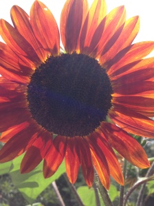 (Beautiful sunflower -- which some would classify as a weed -- photographed in the garden of dear friends Darlene and Bob.)